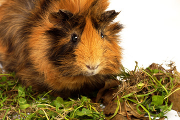 guinea pig with grass and dry leaves