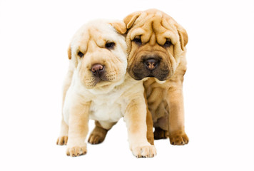 funny sharpei puppies isolated on white background