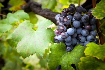 vite con grappolo d'uva