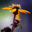 Yellow flower (Ligularia dentate)
