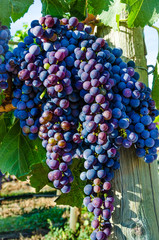 Closeup of  Pinot Gris grapes ready for harvesting