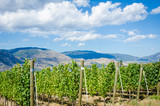 Vineyard in Okanagan Valley on a sunny day - 45368274