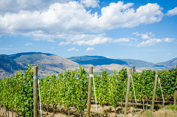 Vineyard in Okanagan Valley on a sunny day