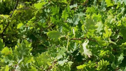 Unripe green acorns on oak branch