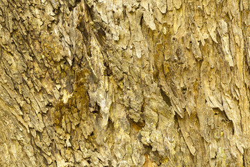 Bark of  Rain tree