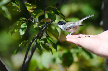 Black-Capped Chickadee Perched on a Hand