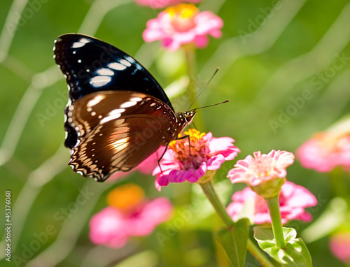 Deurstickers Vlinder Australian butterfly Common Eggfly live species