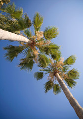 Looking up on a palm trees against the blue sky