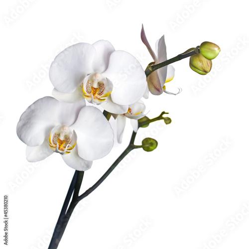 Fototapeten,blume,isoliert,orchidee,weiß