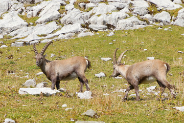 group of alpine ibex