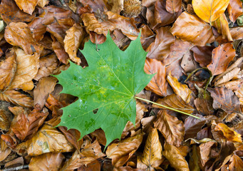 single green maple leave on dry golden autum foliage