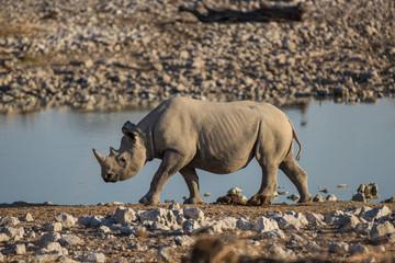 Spitzmaul-Nashorn am Wasserloch