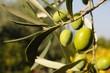 olive nostrane
