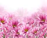 pink blooming chrysanthemum flowers
