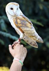 A little white Barn Owl, Tyto alba, Italy