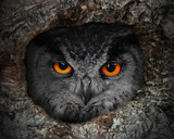 The evil eyes. The Eagle Owl (Bubo bubo) in a hollow tree.