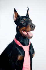 Doberman wearing pink tie