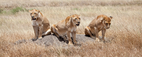 Lionesses Scan the Savanna for Prey