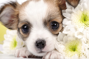 adorable Chihuahua puppy with white flowers close-up