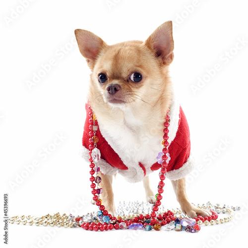 dressed chihuahua