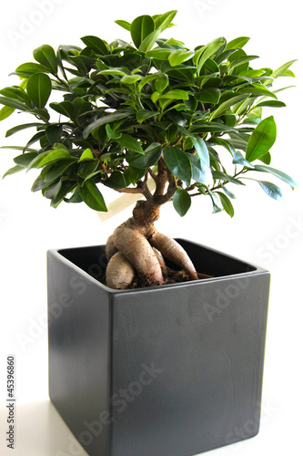 bonsai ficus ginseng photo libre de droits sur la banque d 39 images image 45396860. Black Bedroom Furniture Sets. Home Design Ideas