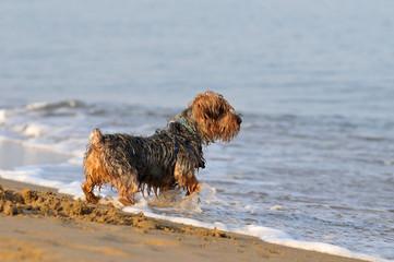 Yorkshire terrier ; bagno al mare