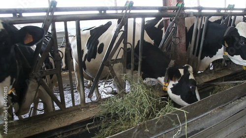 Dairy cows eating hay in barn