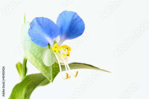 小さな青い露草Asiatic dayflower