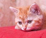 red kitten lies and looks ahead