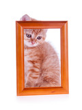 red kitten sitting at a wooden frame in isolation