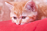 red kitten lying with his head on the blanket