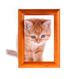 red kitten looks out from a wooden frame on a white