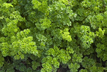 Light green parsley