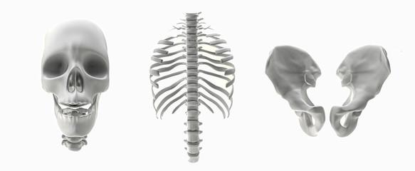 skeletal parts