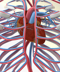 heart, circulatory system & ribs