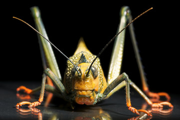 South-American Grasshopper