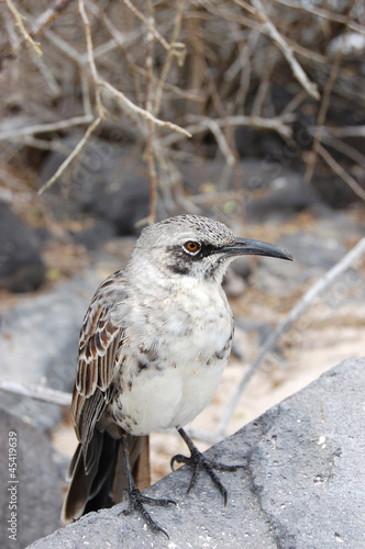 Mockingbird perched on volcanic rock in the Galapagos Islands