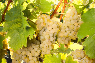Trauben für Weisswein