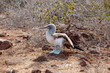 Blue-footed booby standing on volcanic rock