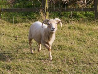Portland sheep, rare breed from Dorset, England