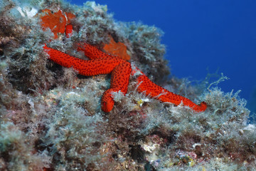 stella rossa marina