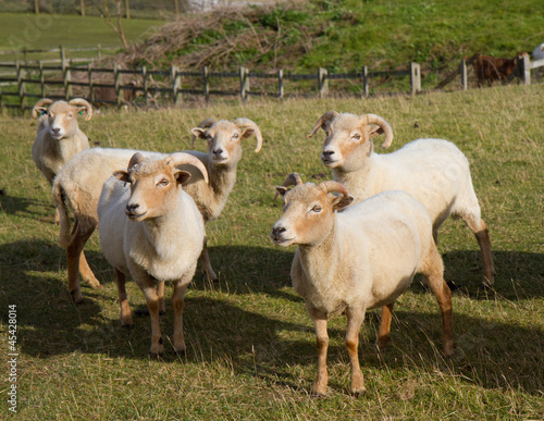 Portland sheep, rare breed from Dorset, England