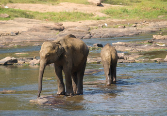 Two young elephants in the river