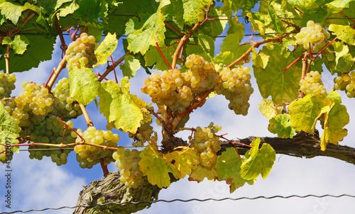 Foto op Canvas Wijngaard Weinstock - Wein - Wine