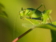 Female of a speckled bush-cricket (Leptophyes punctatissima) eat
