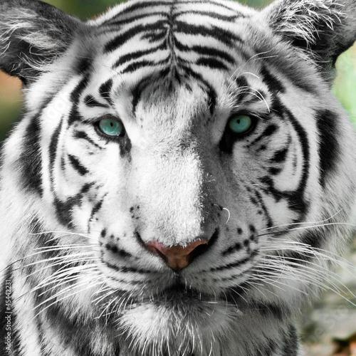 tigre-blanc-royal-panthera-tigris