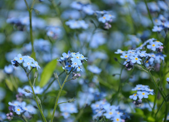 Close up view of small blue spring flowers