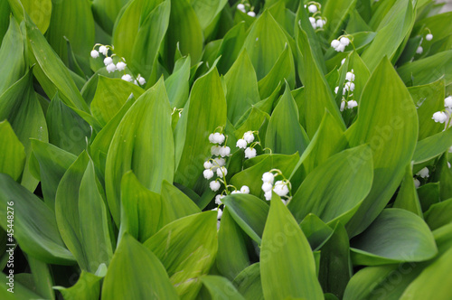 Lilly of the valley flowers, upper view
