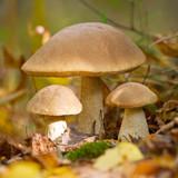 Autumn forest eatable mushrooms poster