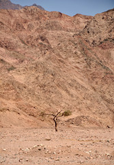 Lonely tree at the Egyptian  mountains